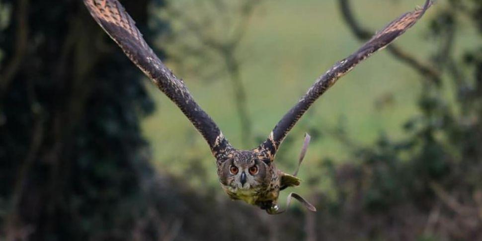 Missing Eagle Owl Found In Kil...