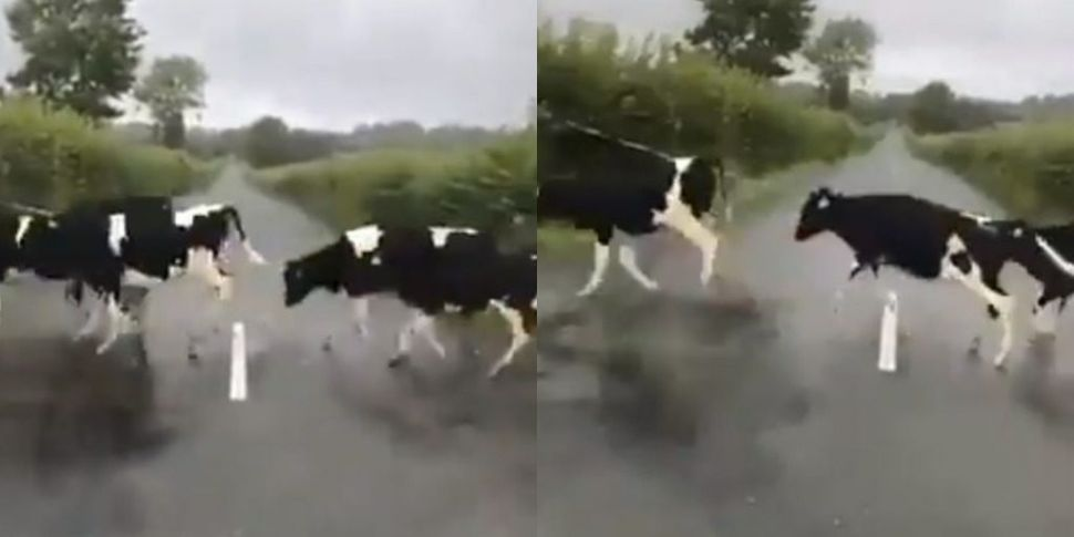 Adorable Cows Jump Over White...
