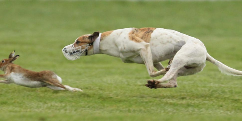 Should Hare Coursing Be Perman...