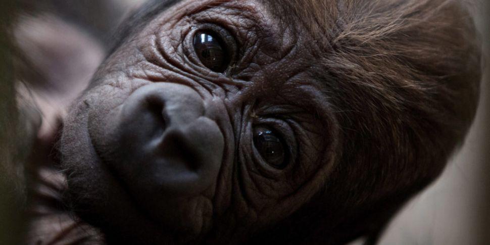 New Baby Gorilla At Dublin Zoo