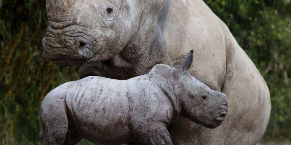 Baby Rhino Crashes In At Dubli...