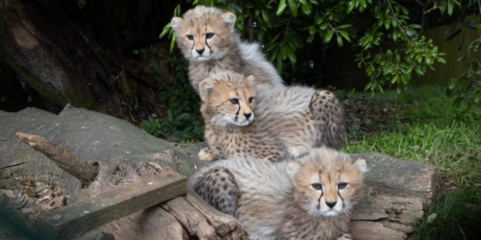 Three Northern Cheetah Cubs Bo...