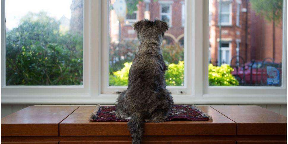 Irish Doggies Being Offered Fr...