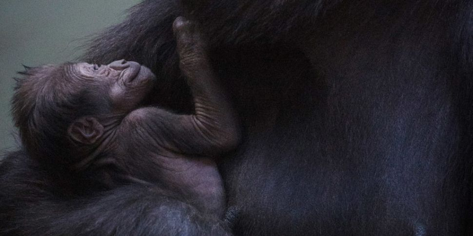 Adorable Baby Gorilla Born In...