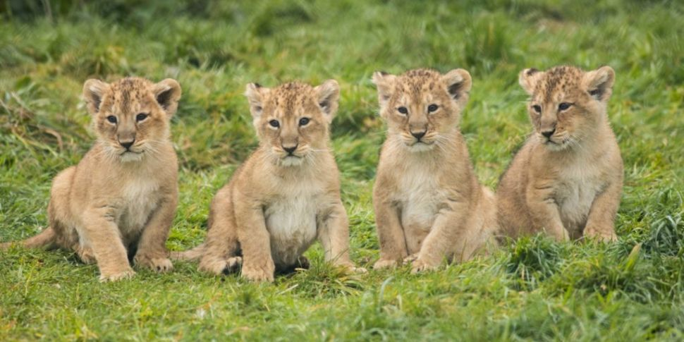 Four Endangered Lion Cubs Born...