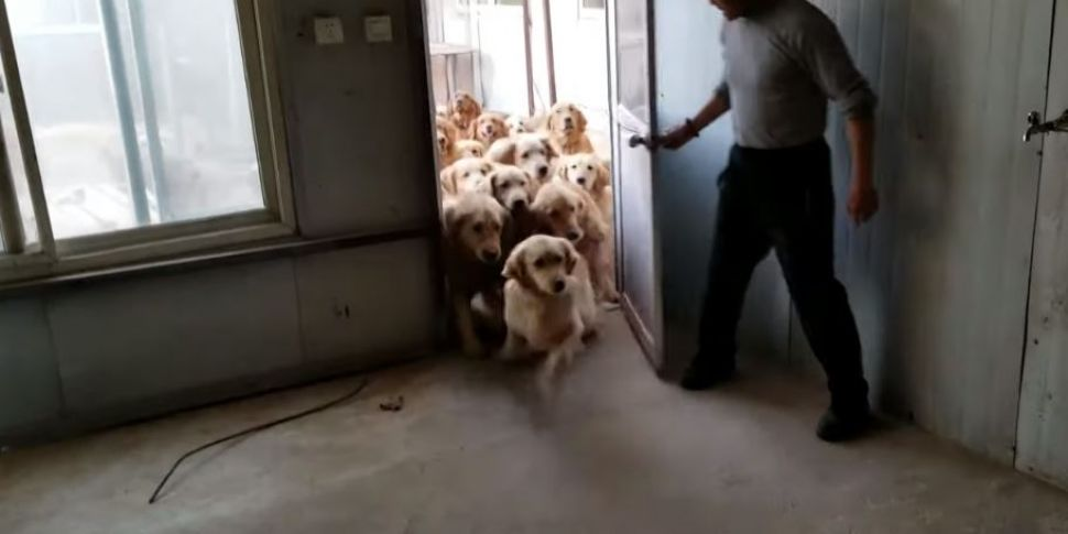 This Stampede Of Rescued Golde...