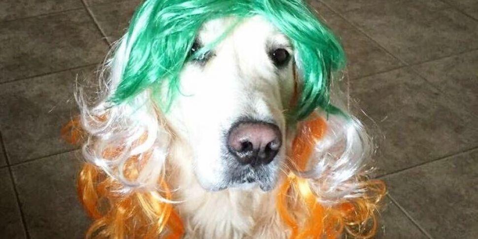 The Most Patriotic Dog In Irel...