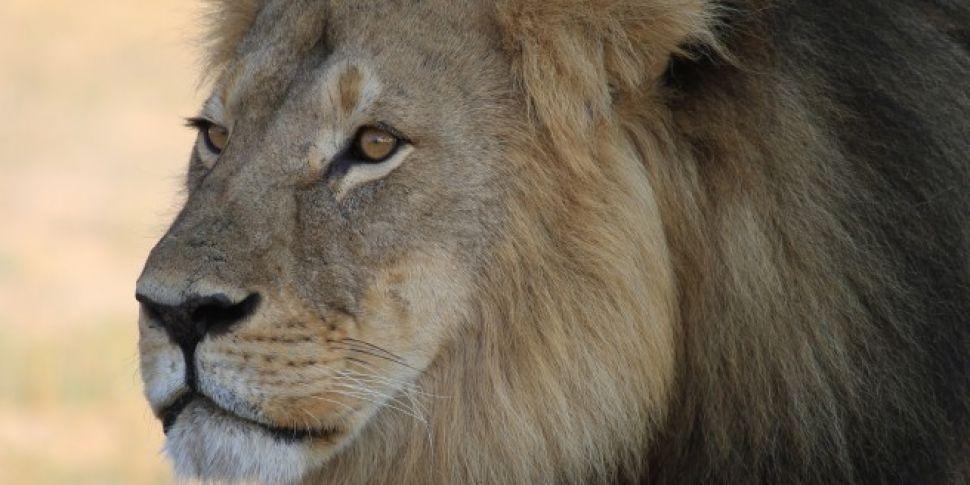 Lion kills young wildlife park...