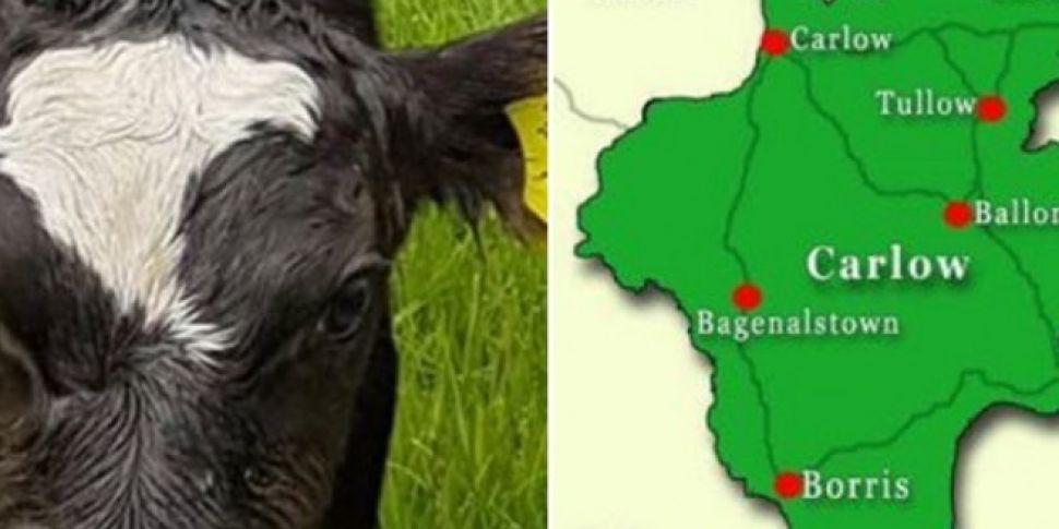Carlow Cow Born With A Map Of...