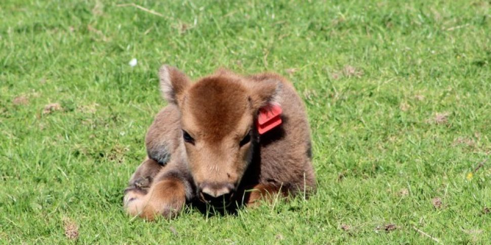 New Female European Bison Born...