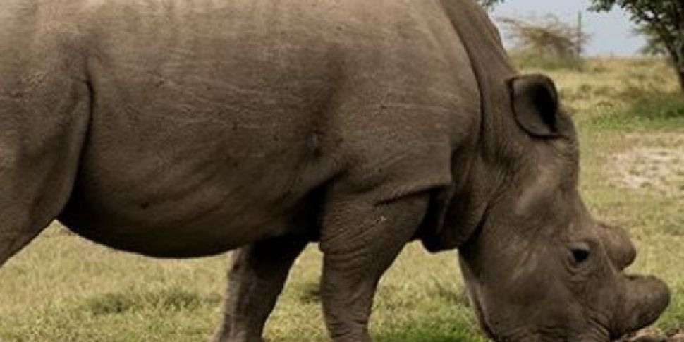 Last Male Northern White Rhino...