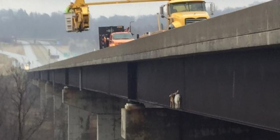 Goats Rescued From 200ft Bridg...