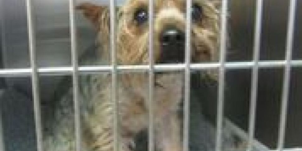 Yorkie Rescued From Plastic Ba...