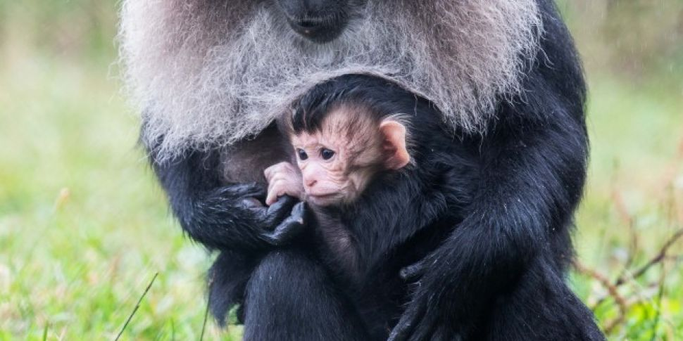 Lion-Tailed Macaque Baby Born...