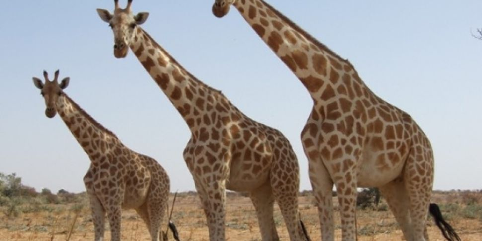 Giraffes Under Threat Of Extin...