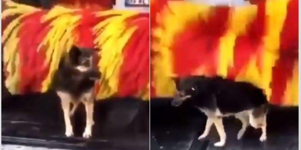 This Stray Dog Using A Carwash...