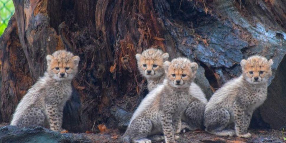 Cheetah Cubs Born At Fota Wild...